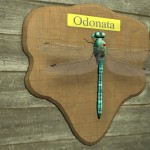Odonata_Display
