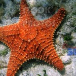 STK014_Marine Star Fish.444x398