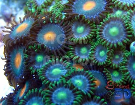 STK009_Marine Corals Green Zooanthids-444x345