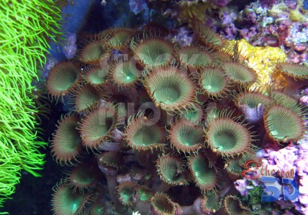 STK010_Marine Brown Corals.444x310