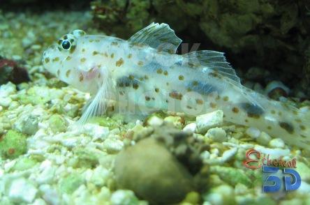 STK011_Marine Fish Goby.444x294
