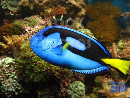 STK012_Marine Fish Regal Tang.444x333