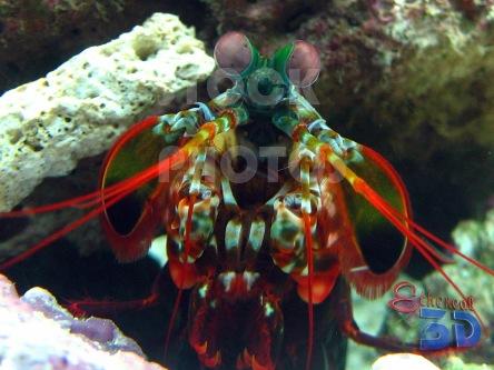 STK013_Marine Mantis Shrimp.444x333