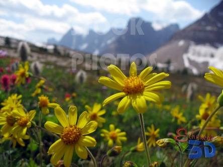 STK021_Rocky Mountain, Meadow Daisy.444x332
