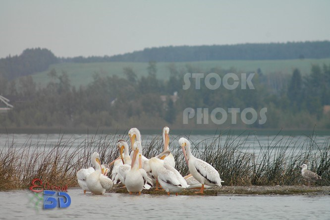 Pelicans on Lakeside